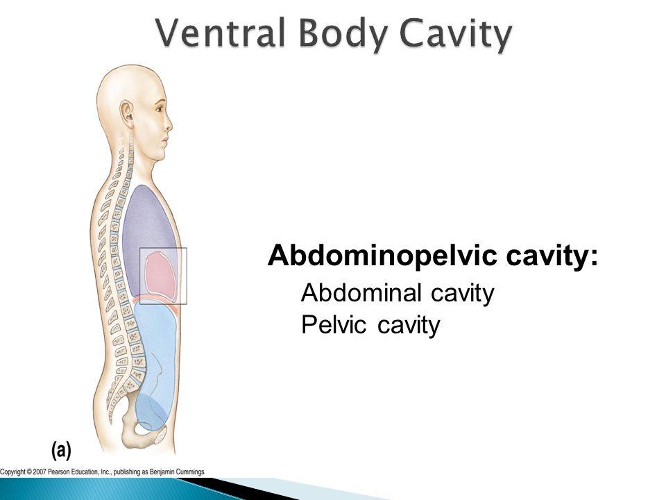 Ventral Body Cavity Abdominopelvic cavity: Abdominal cavity