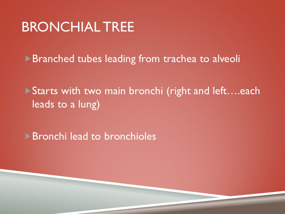 Bronchial tree Branched tubes leading from trachea to alveoli