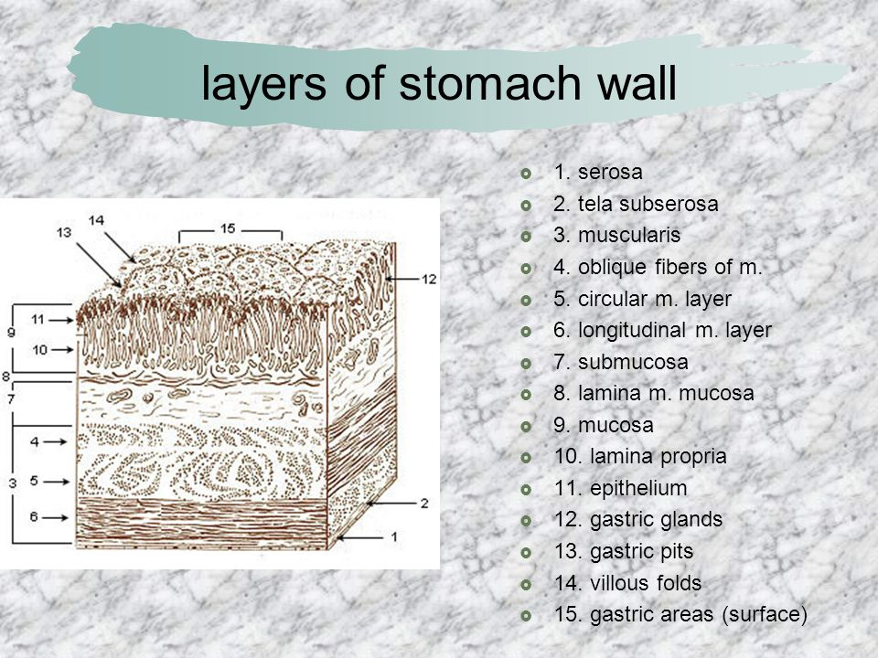 layers of stomach wall 1. serosa 2. tela subserosa 3. muscularis