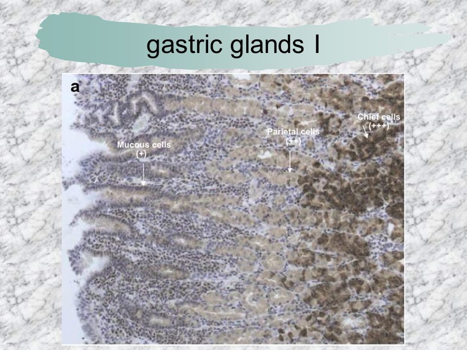 gastric glands I