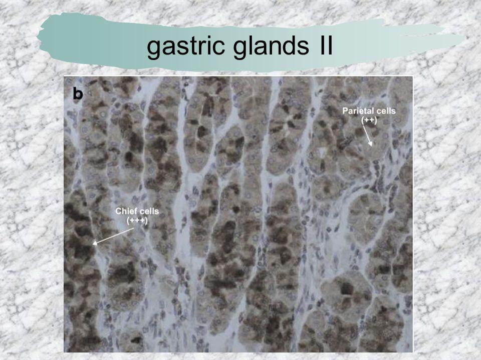 gastric glands II