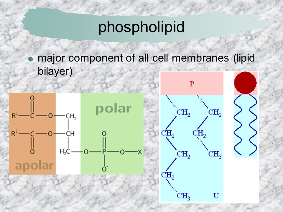 phospholipid major component of all cell membranes (lipid bilayer)