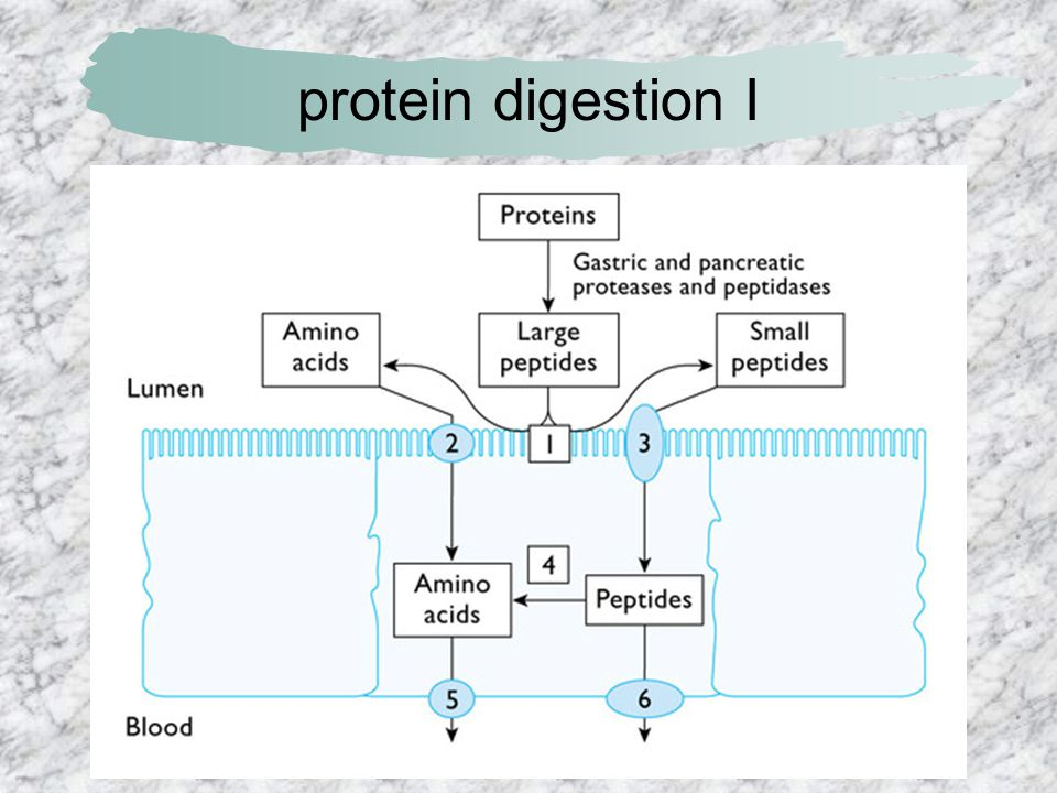 protein digestion I