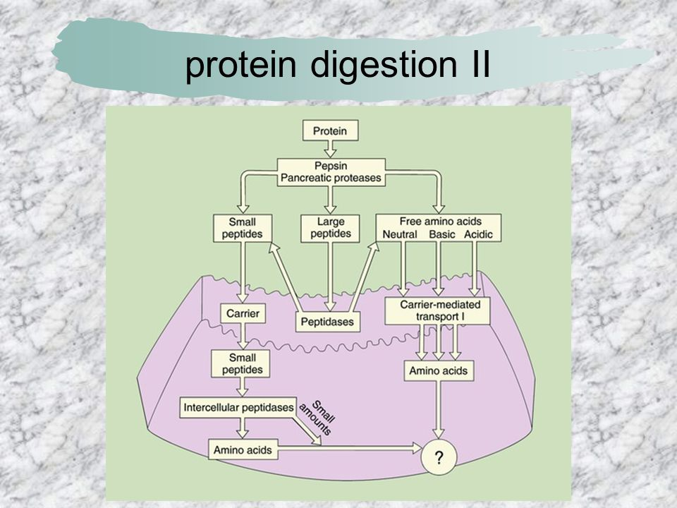 protein digestion II