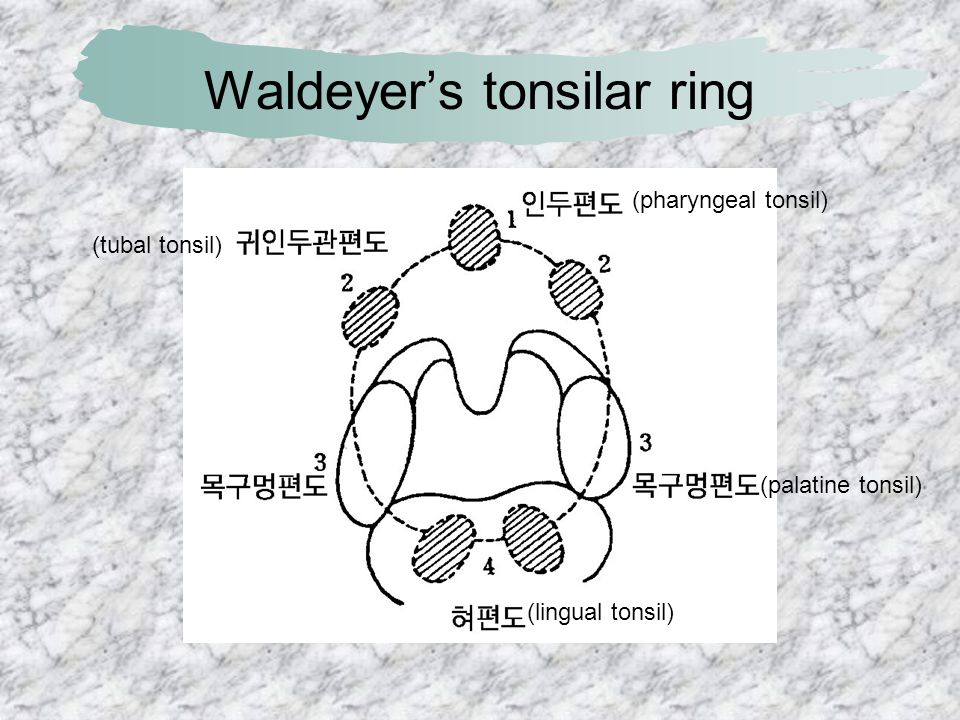 Waldeyer's tonsilar ring