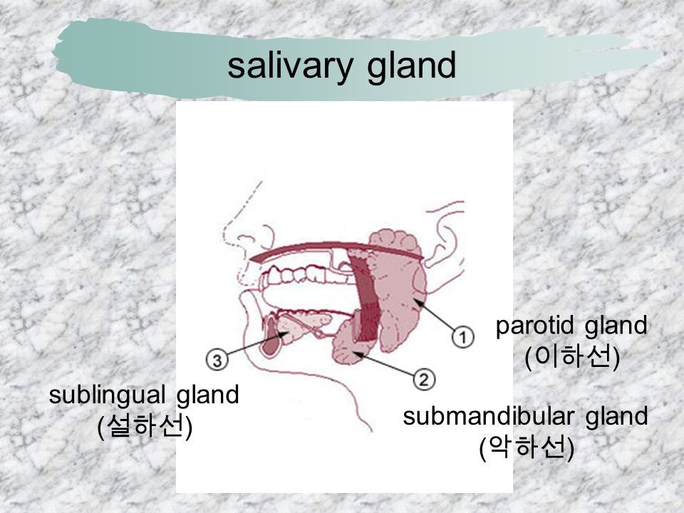 salivary gland parotid gland (이하선) sublingual gland (설하선)