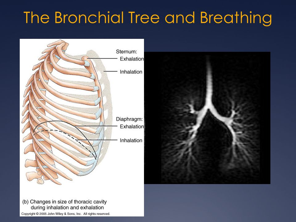 The Bronchial Tree and Breathing