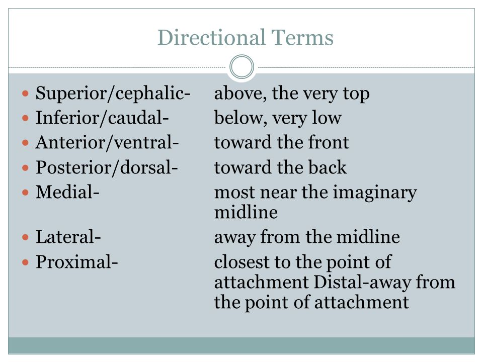 Directional Terms Superior/cephalic- above, the very top