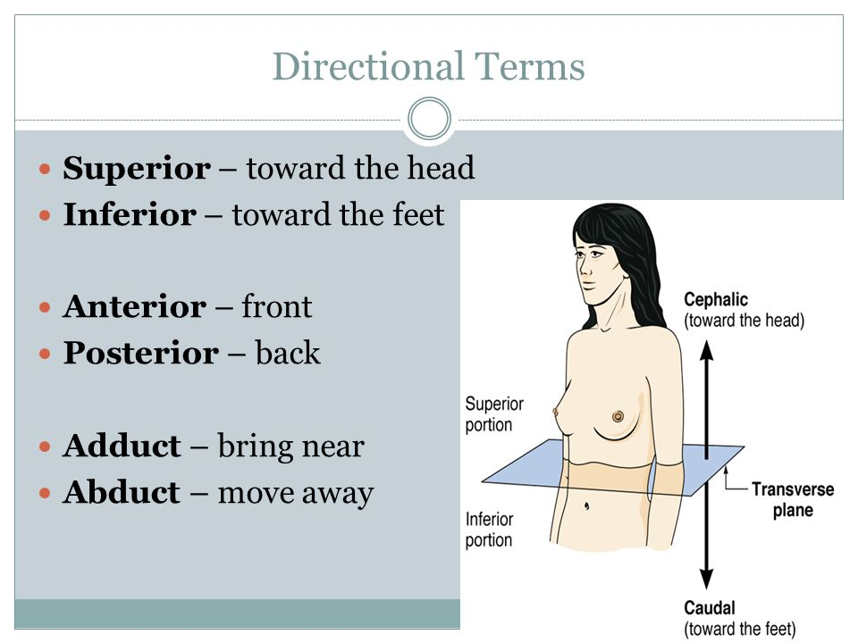 Directional Terms Superior – toward the head