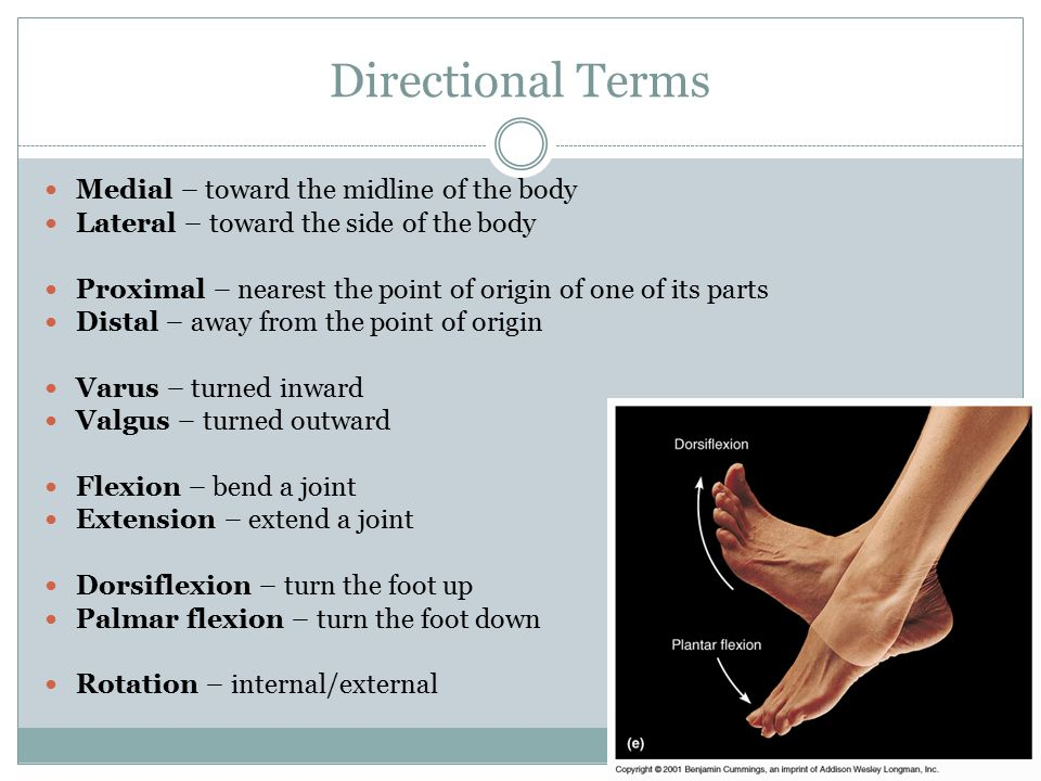 Directional Terms Medial – toward the midline of the body