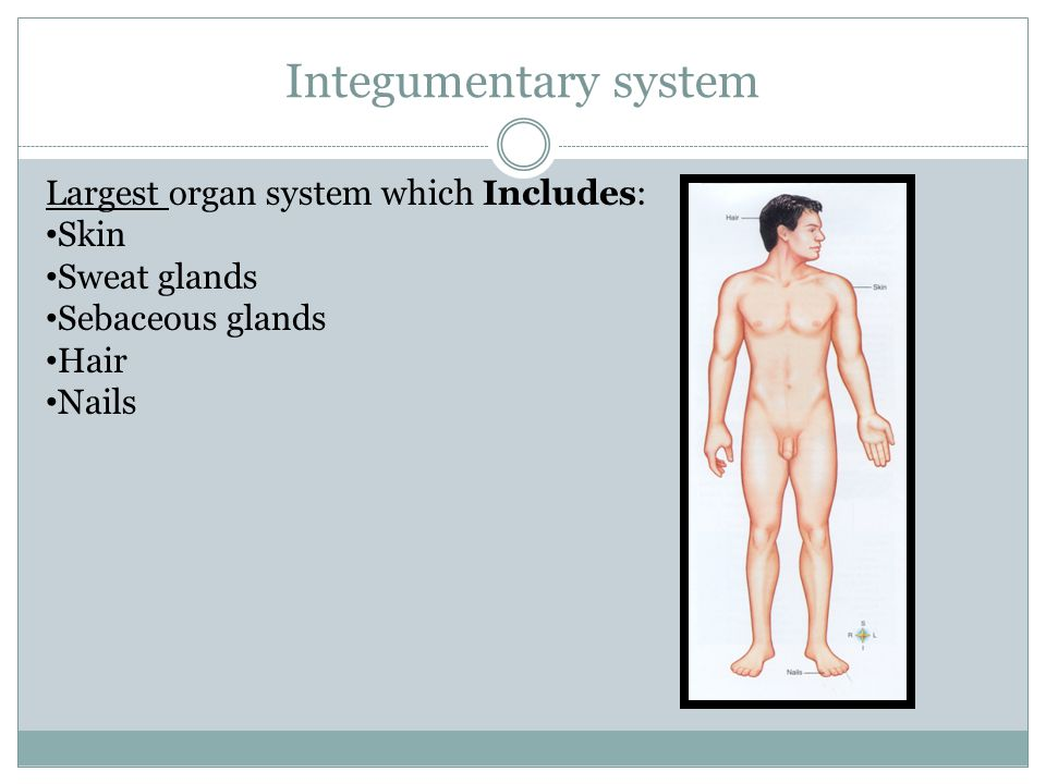 Integumentary system Largest organ system which Includes: Skin