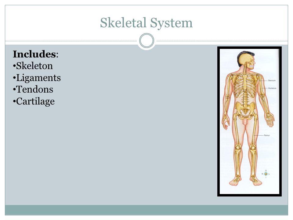Skeletal System Includes: Skeleton Ligaments Tendons Cartilage