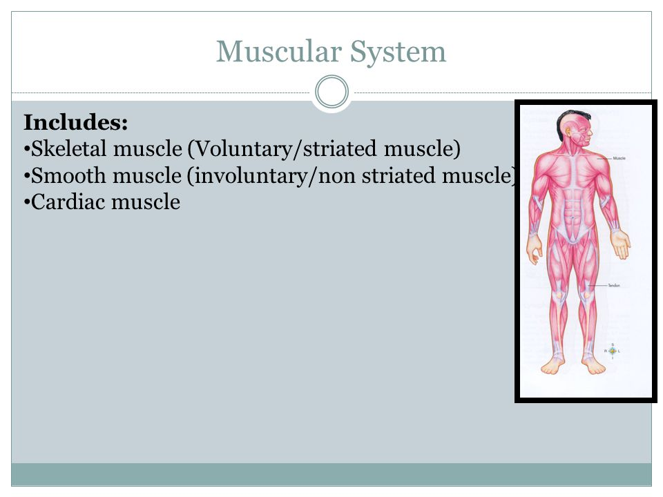 Muscular System Includes: Skeletal muscle (Voluntary/striated muscle)