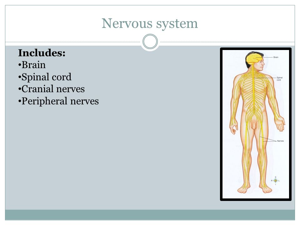 Nervous system Includes: Brain Spinal cord Cranial nerves