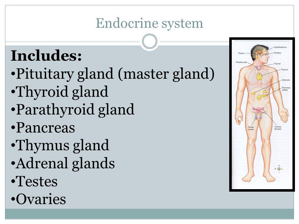 Pituitary gland (master gland) Thyroid gland Parathyroid gland