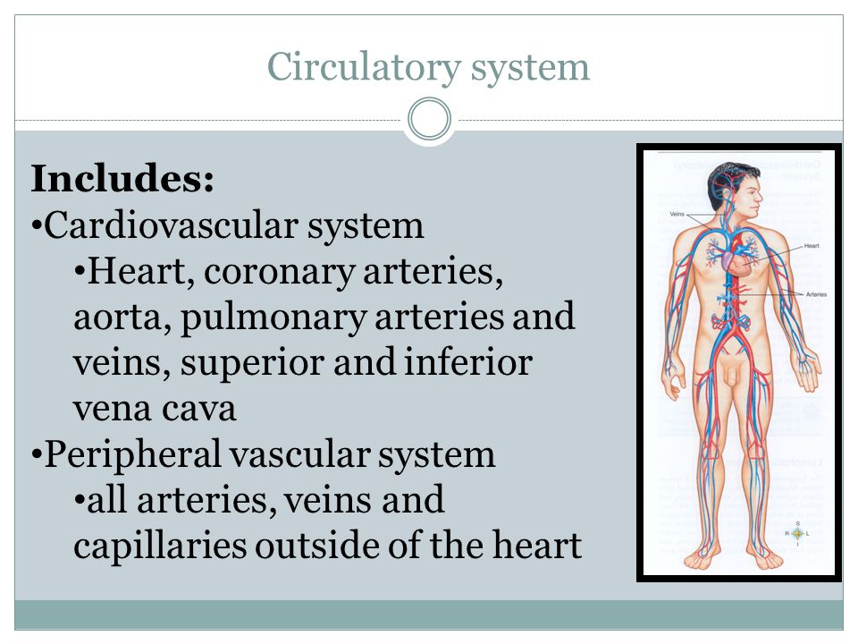 Circulatory system Includes: Cardiovascular system