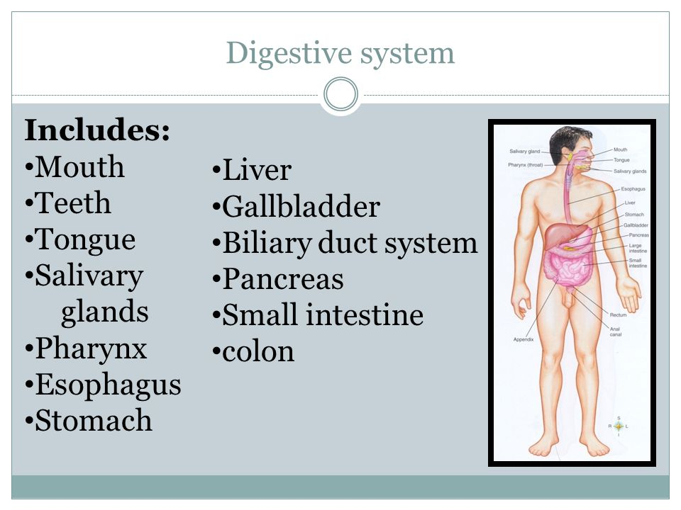 Digestive system Includes: Mouth Teeth Liver Tongue Gallbladder