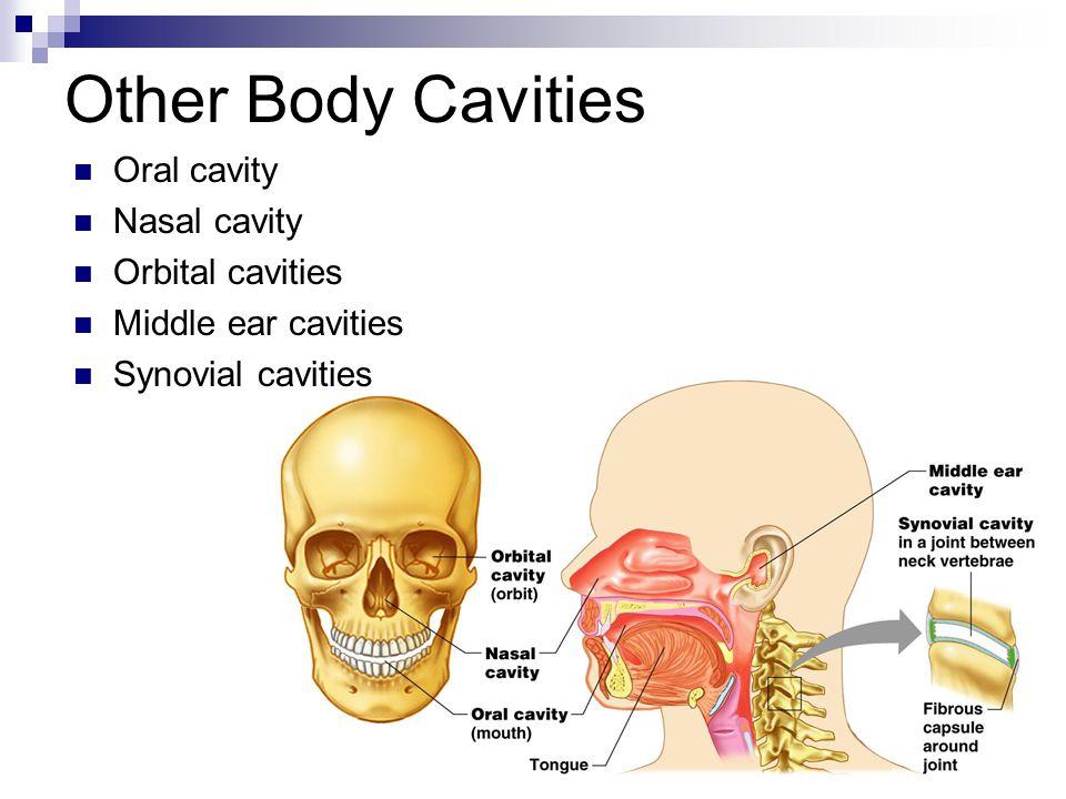 Other Body Cavities Oral cavity Nasal cavity Orbital cavities