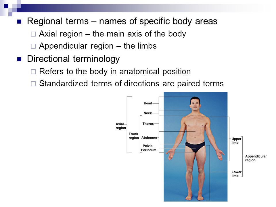 Regional terms – names of specific body areas