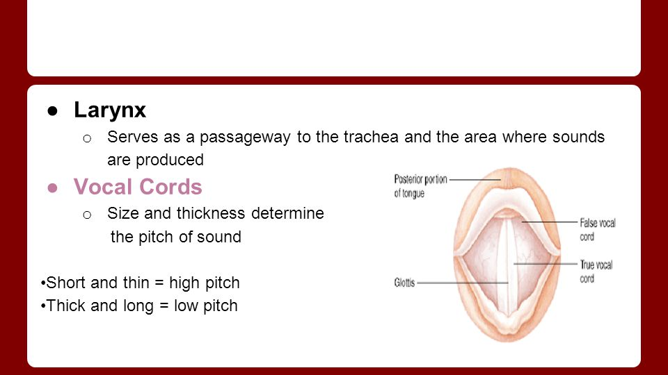 Larynx Serves as a passageway to the trachea and the area where sounds are produced. Vocal Cords. Size and thickness determine.