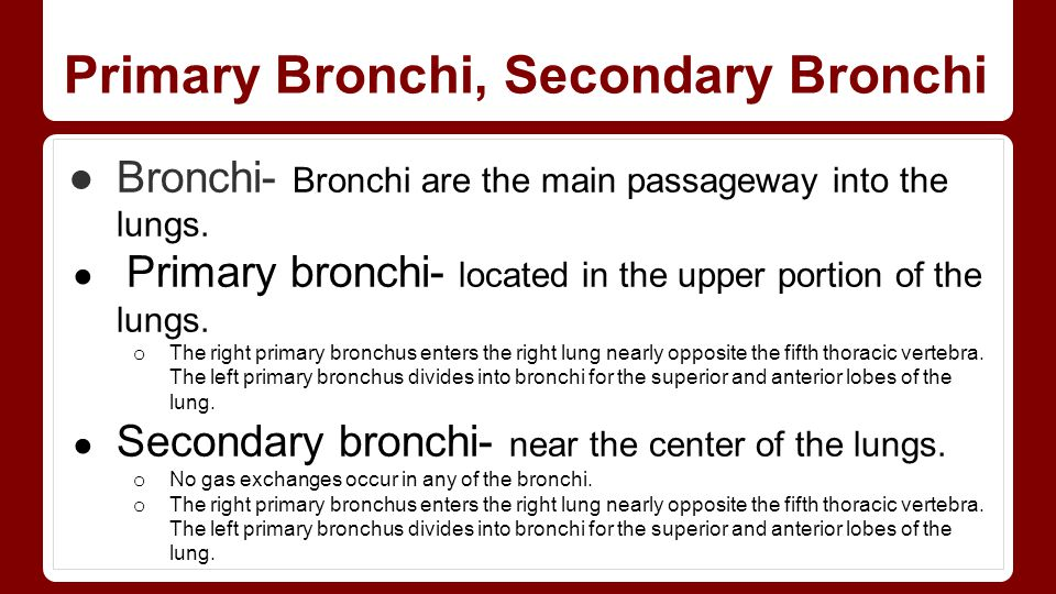 Primary Bronchi, Secondary Bronchi