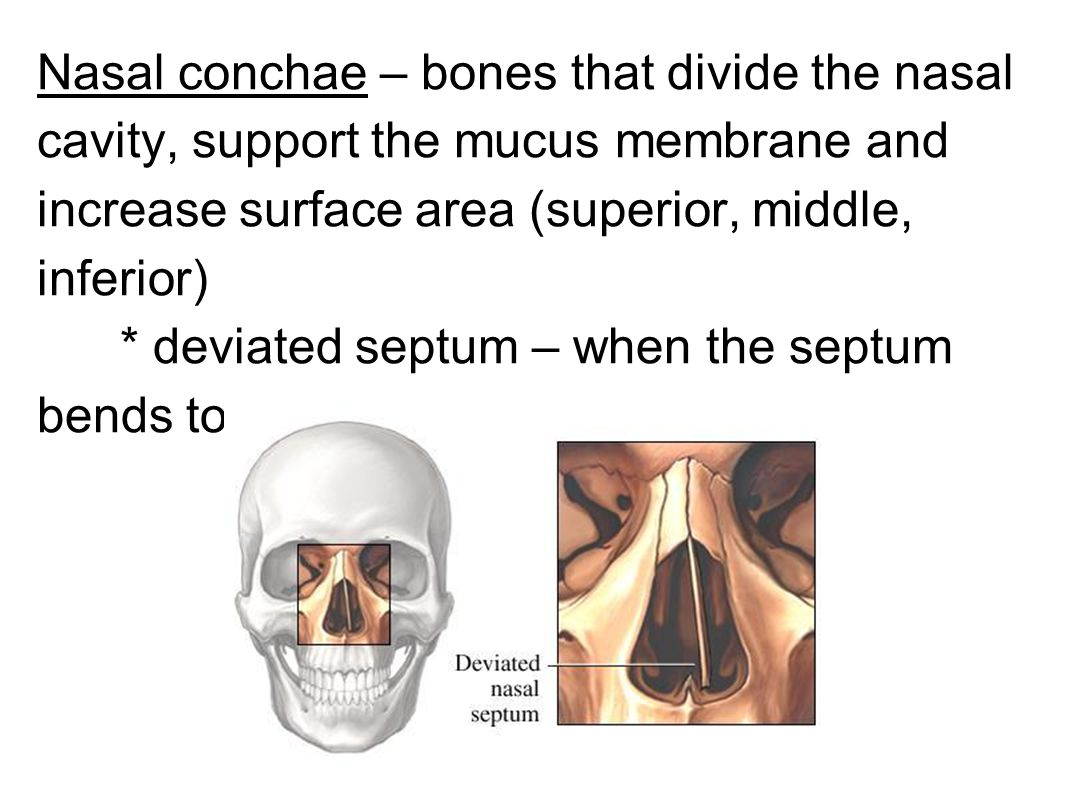 Nasal conchae – bones that divide the nasal cavity, support the mucus membrane and increase surface area (superior, middle, inferior)