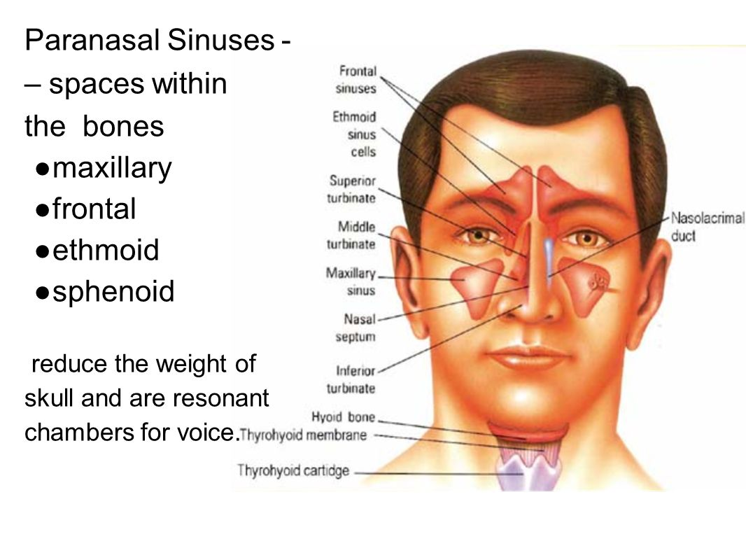 Paranasal Sinuses - – spaces within the bones