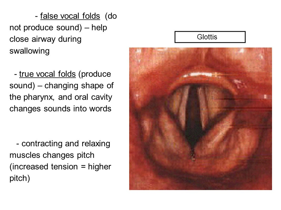 - false vocal folds (do not produce sound) – help close airway during swallowing