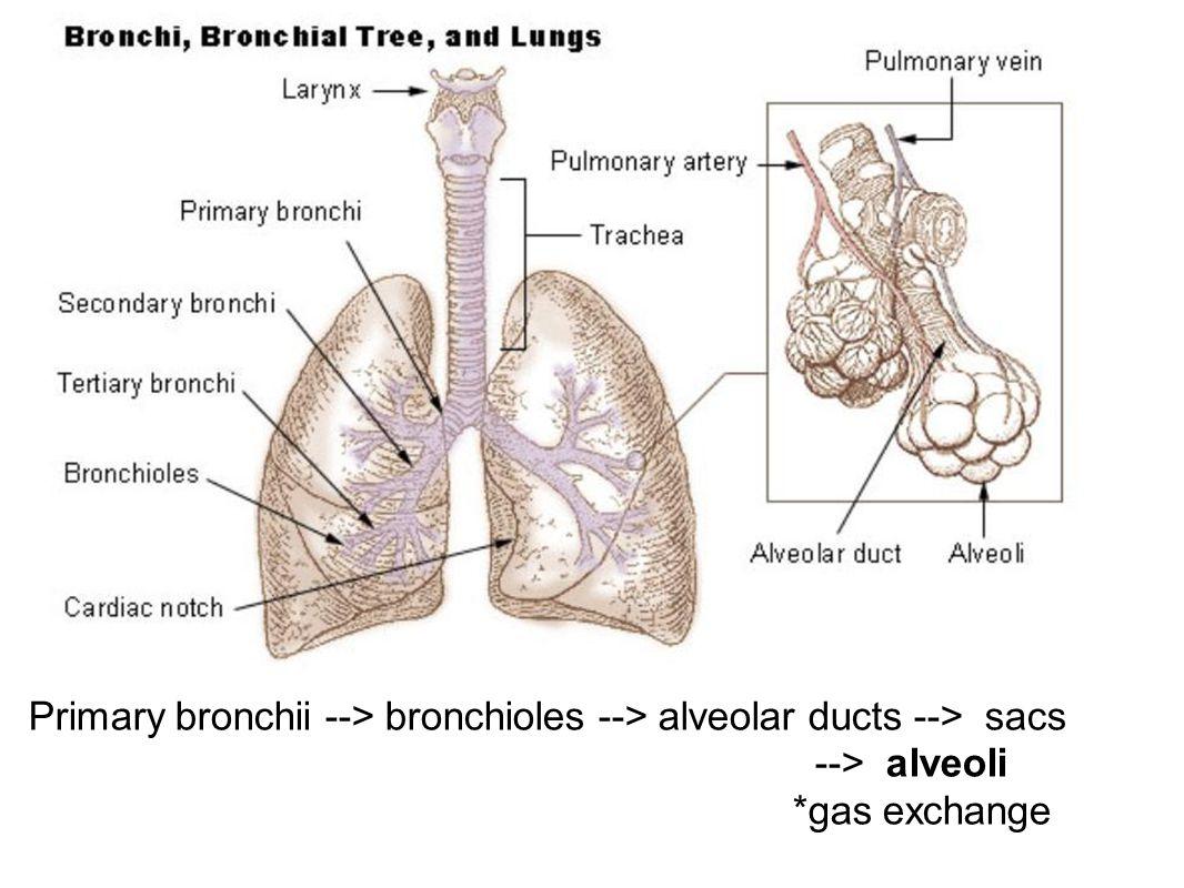 Primary bronchii --> bronchioles --> alveolar ducts --> sacs --> alveoli