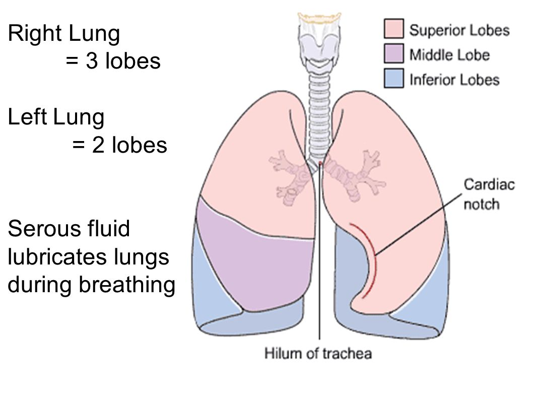 Right Lung = 3 lobes Left Lung = 2 lobes.