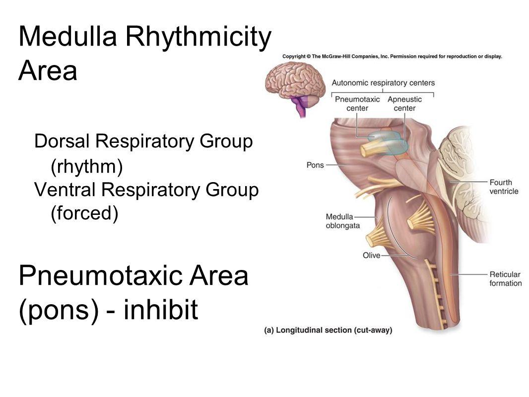 Medulla Rhythmicity Area