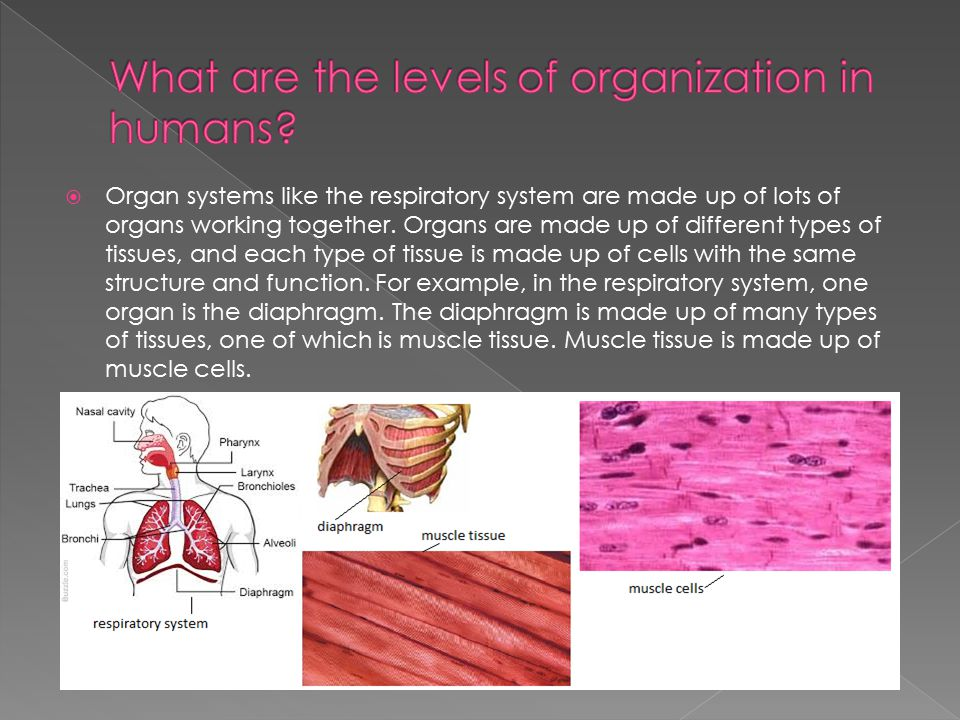 What are the levels of organization in humans
