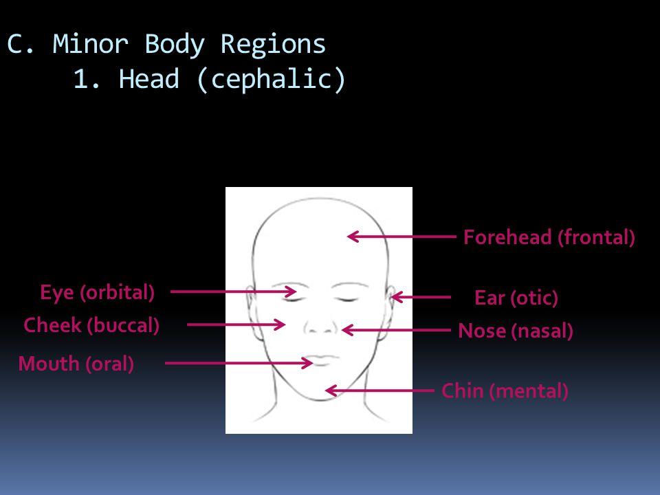 C. Minor Body Regions 1. Head (cephalic)
