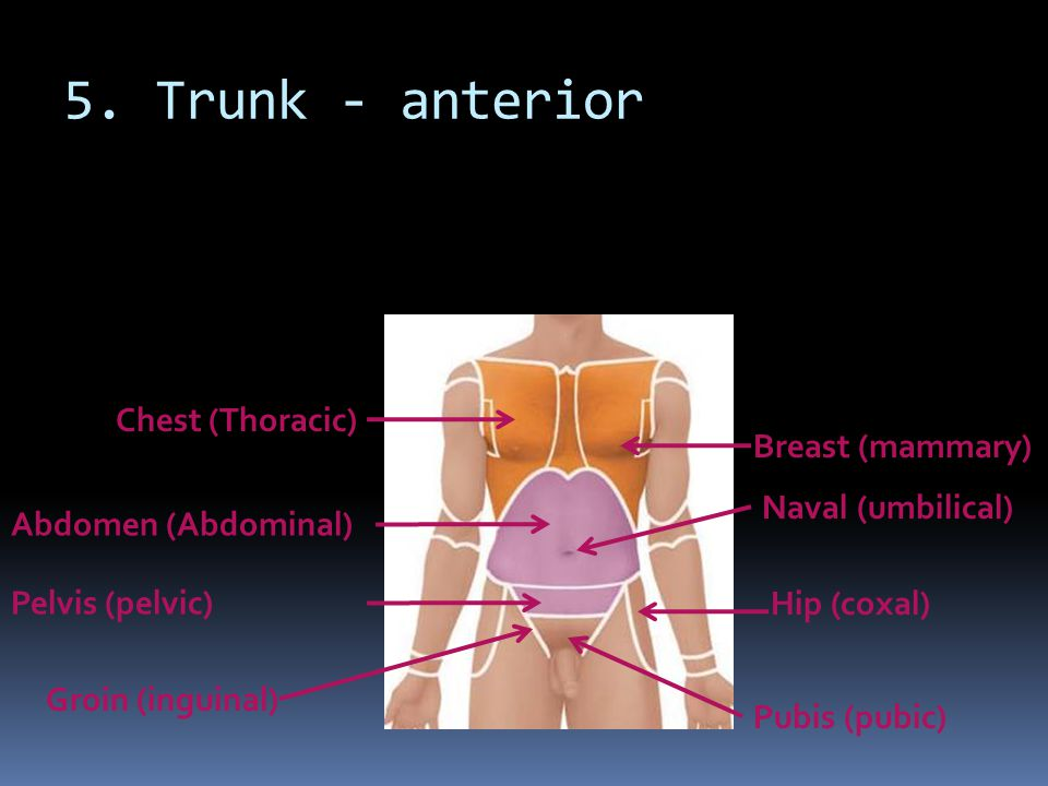 5. Trunk - anterior Chest (Thoracic) Breast (mammary)