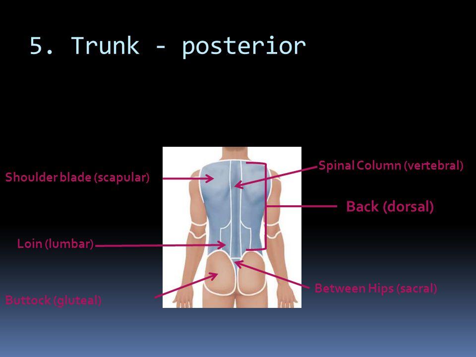 5. Trunk - posterior Back (dorsal) Spinal Column (vertebral)