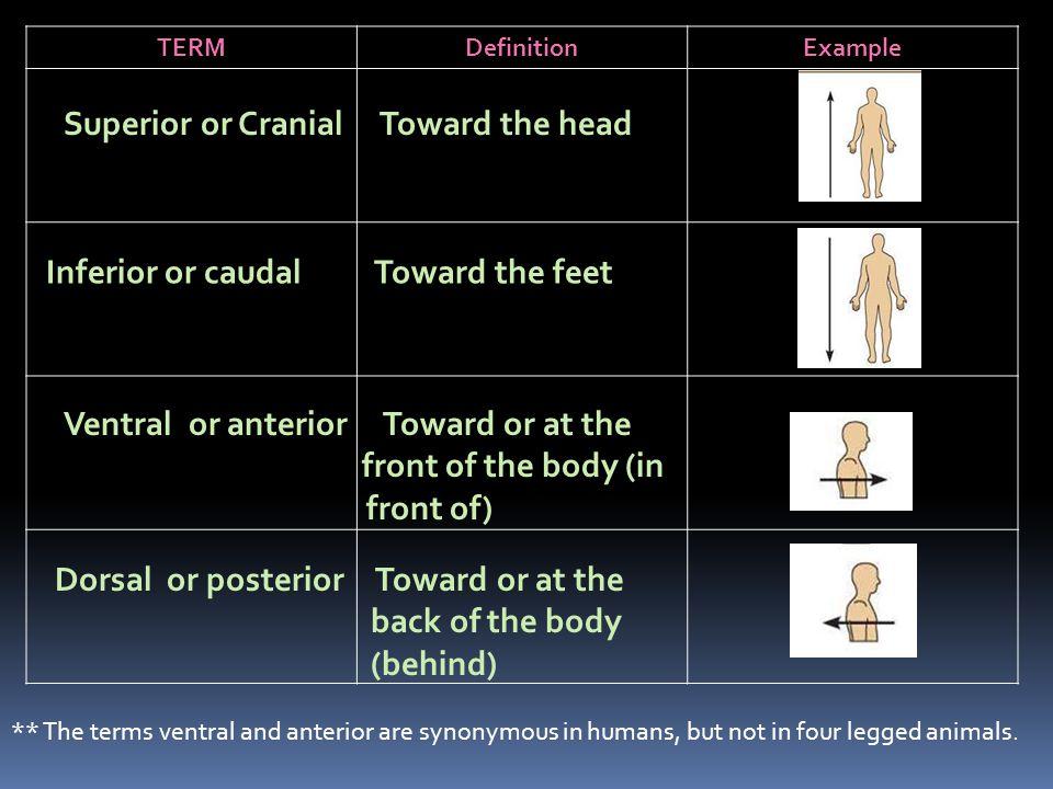 Superior or Cranial Toward the head