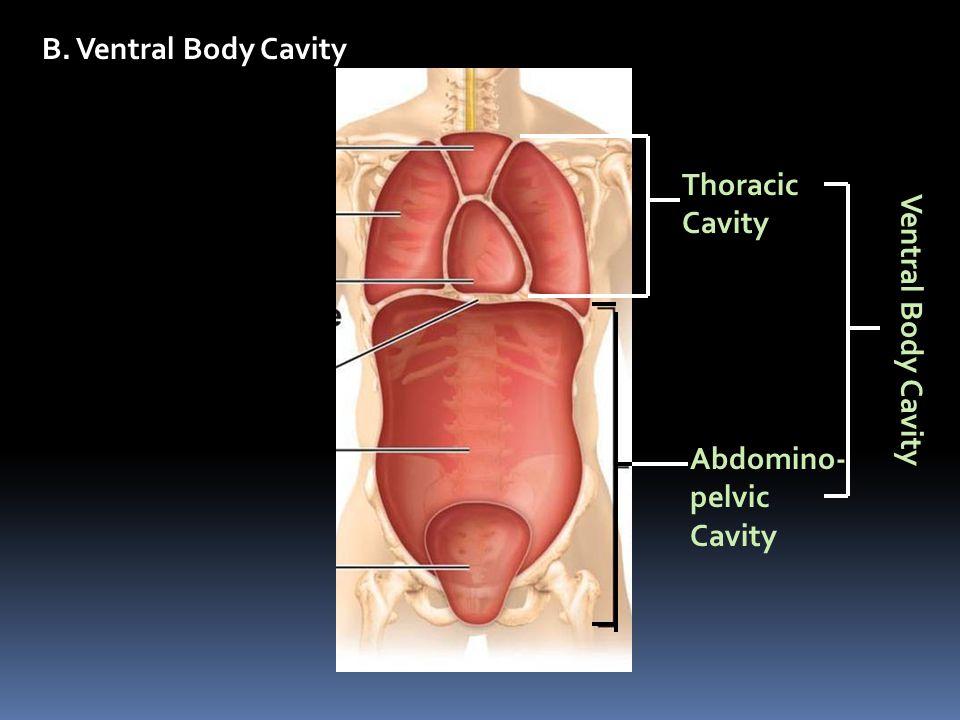B. Ventral Body Cavity Thoracic Cavity Ventral Body Cavity Abdomino- pelvic Cavity