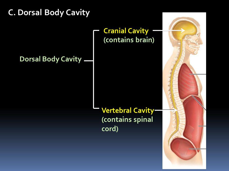 C. Dorsal Body Cavity Cranial Cavity (contains brain)
