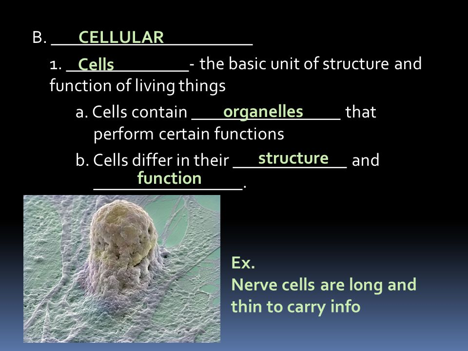 Nerve cells are long and thin to carry info