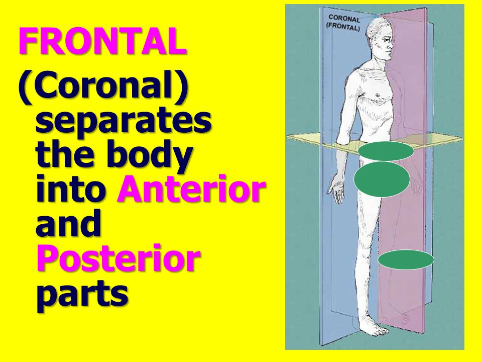 FRONTAL (Coronal) separates the body into Anterior and Posterior parts