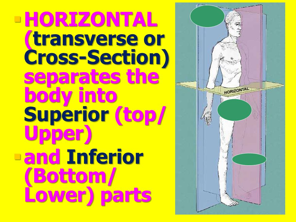 HORIZONTAL (transverse or Cross-Section) separates the body into Superior (top/ Upper)