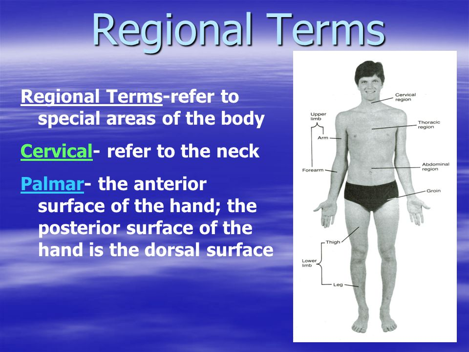 Regional Terms Regional Terms-refer to special areas of the body