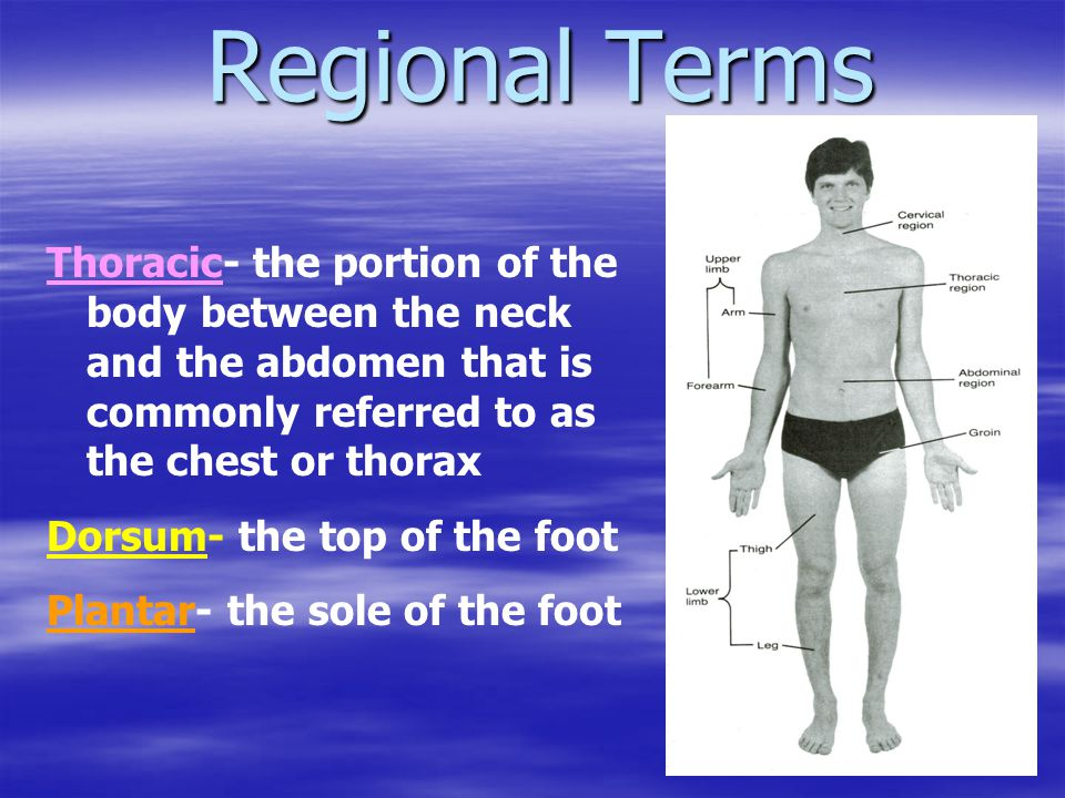 Regional Terms Thoracic- the portion of the body between the neck and the abdomen that is commonly referred to as the chest or thorax.