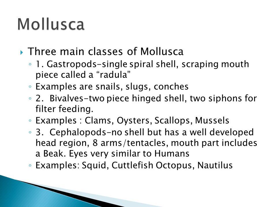 Mollusca Three main classes of Mollusca
