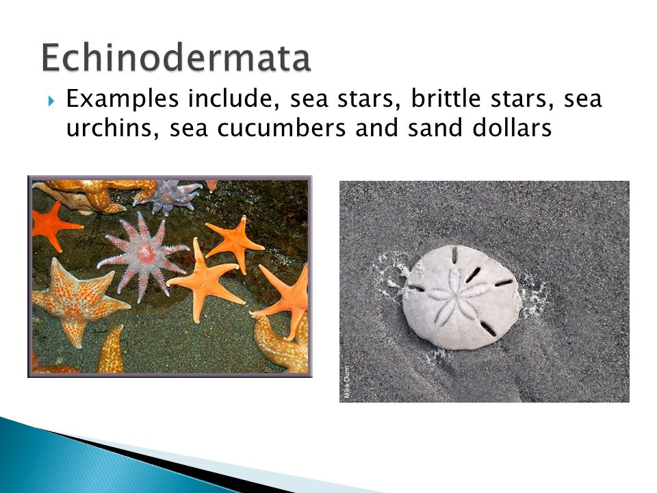 Echinodermata Examples include, sea stars, brittle stars, sea urchins, sea cucumbers and sand dollars.