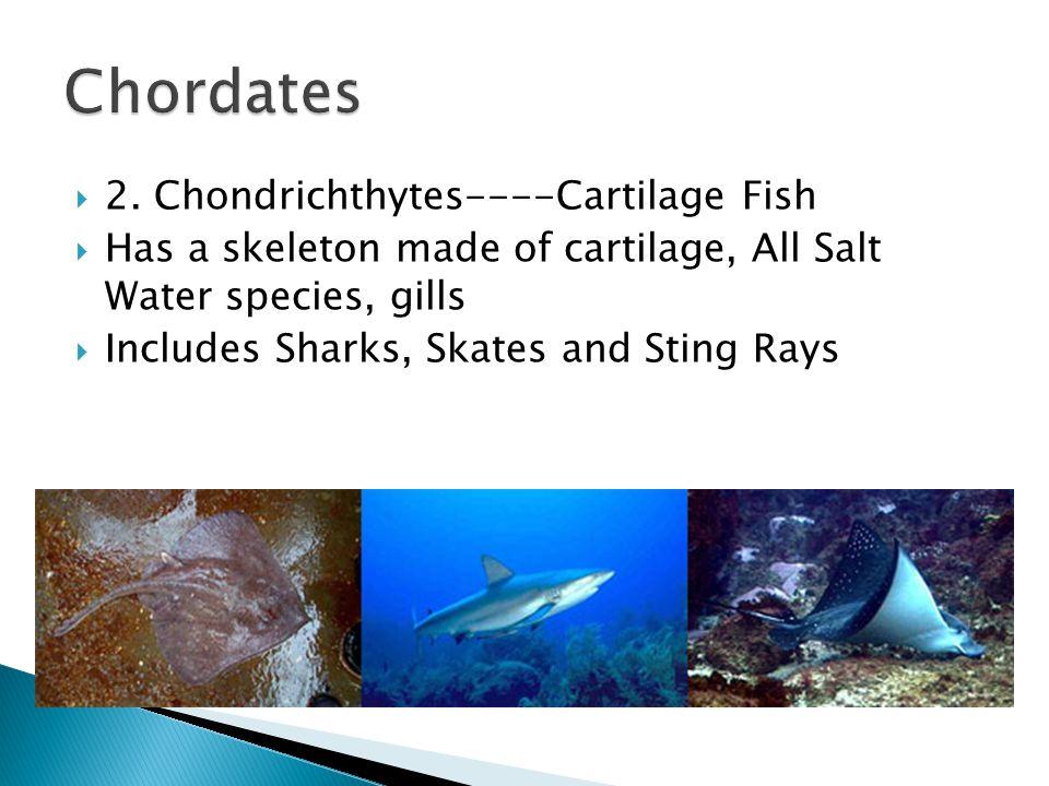 Chordates 2. Chondrichthytes----Cartilage Fish