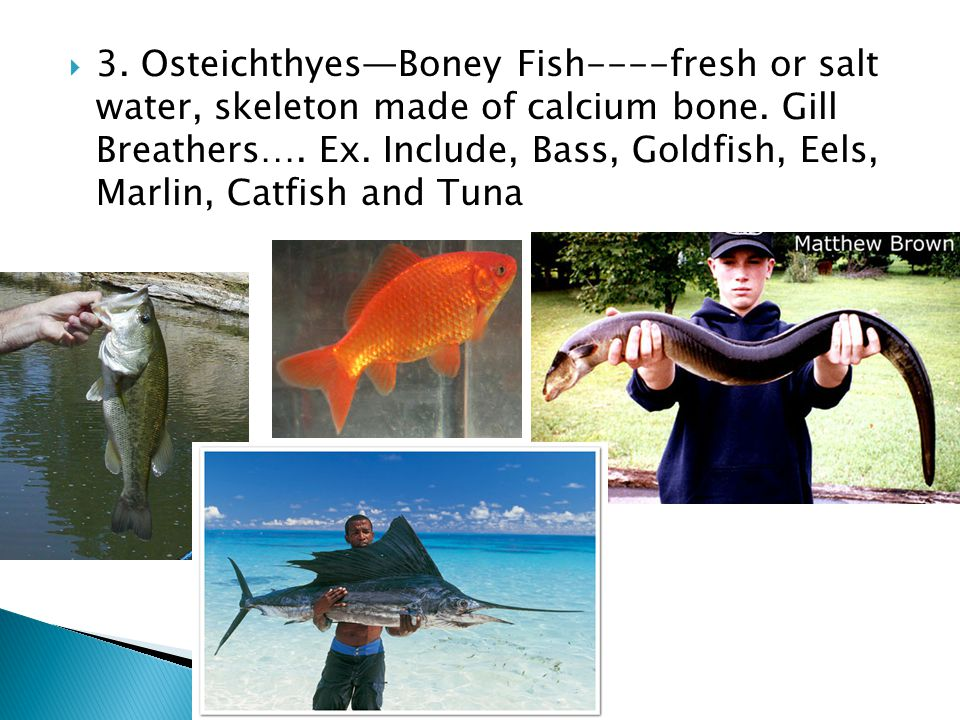 3. Osteichthyes—Boney Fish----fresh or salt water, skeleton made of calcium bone.