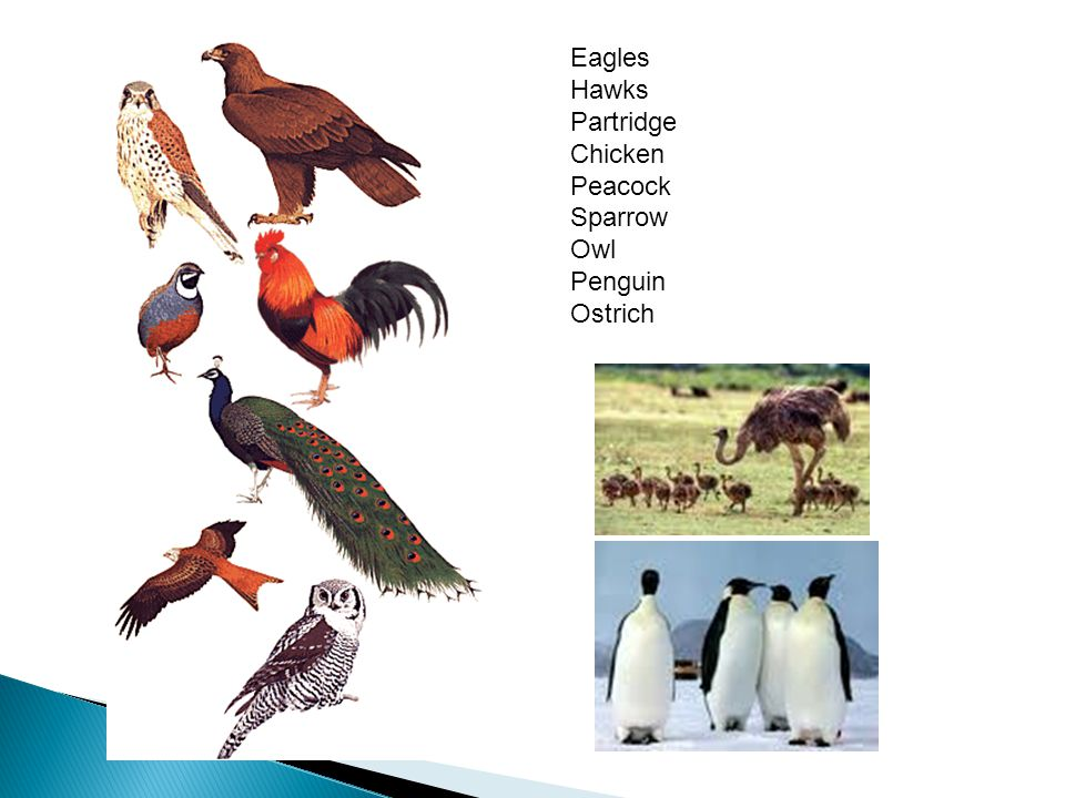 Eagles Hawks Partridge Chicken Peacock Sparrow Owl Penguin Ostrich