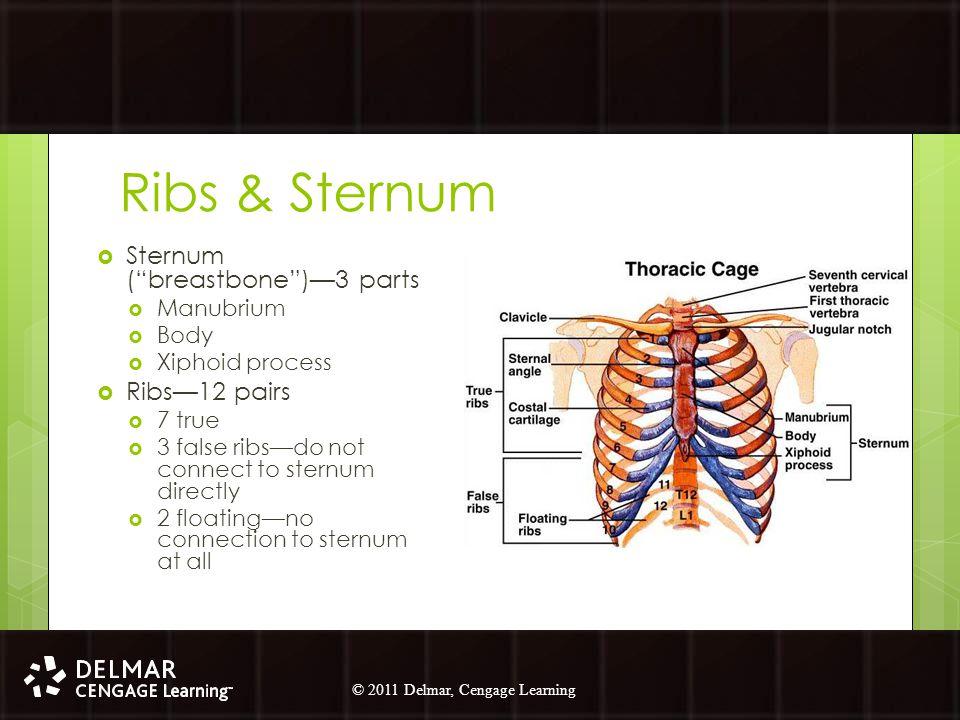 Ribs & Sternum Sternum ( breastbone )—3 parts Ribs—12 pairs Manubrium