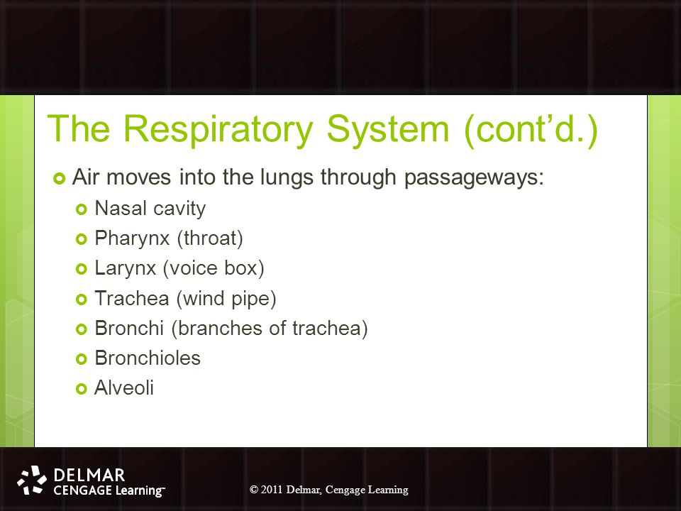 The Respiratory System (cont'd.)